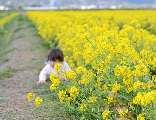 rape_blossoms_kameoka05